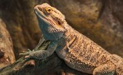 What Are the Adaptations a Lizard Has That Allow It to Live in the Desert?