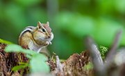 The Life Cycle of a Chipmunk