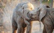 How Do Elephants Give Birth?
