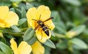 How to Identify Mason Wasps