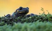 Differences Between Skinks & Salamanders