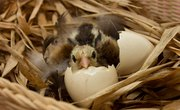 Gestation Periods for Birds
