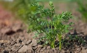 Characteristics of a Carrot Plant