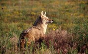 How to Tell a Male Coyote From a Female