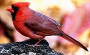 Different Species of Cardinal Birds