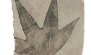What Are Carbon Film Fossils?