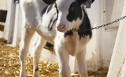 How to Raise a Feeder Calf