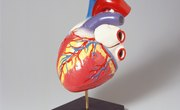What Organs Make Up the Circulatory System?