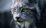 Bobcats of Alabama