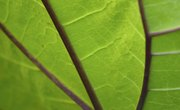 Why Don't All Plant Cells Contain Chloroplasts?