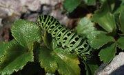 Differences Between Maggots & Caterpillars