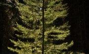 Pine Tree Diameter Vs. Age