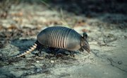 How to Find an Armadillo's Burrow