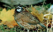 How to Raise Quails With Chickens