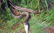 North Louisiana Snakes That Give Live Birth
