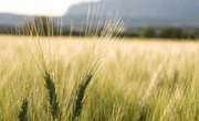The Difference Between Hard & Soft Wheat