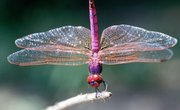 Dragonfly Characteristics