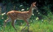 How Soon Do Male Deer Grow Antlers?