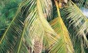 Adaptations of the Coconut Tree