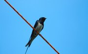What Eats a Barn Swallow?