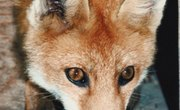 Mating Habits of Foxes