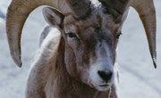 How to Trim Sheep Horns