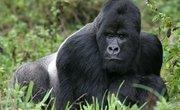 The Silverback Gorilla's Diet