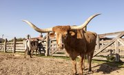 How to Raise Texas Longhorn Cattle for Beef