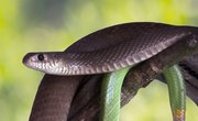 Facts on Black Rat Snakes