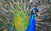 How to Tell If a Peacock Is Male or Female