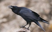 How to Identify a Raven Feather