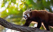 What Are the Red Panda's Adaptations?