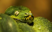 Green Tree Snake Facts