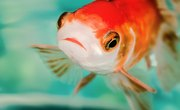 Flushed Goldfish Are Taking Over The Great Lakes – Yes, Really!