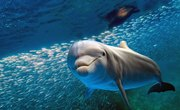 How Long Can a Dolphin Hold its Breath?