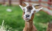 Similarities of Goats & Sheep