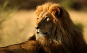How Have Lions Adapted to Their Environment?