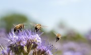 How to Identify Bees, Wasps & Hornets