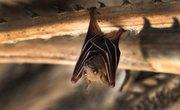 Bumblebee Bat Facts