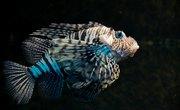 How to Tell Male & Female Zebrafish Apart