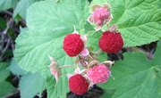 How to Identify Thimbleberries in the Wild