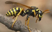 About the Wasp Life Cycle
