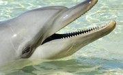 How Do Dolphins Hear?