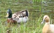 How Do Ducks Communicate?