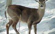 How Does a Deer Find Food?