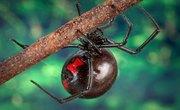Dangerous Spiders in North Carolina