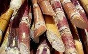 What is Sugar Cane?