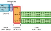 Trilaminar Structure of the Cell Membrane