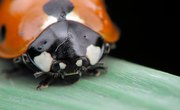 What Do Asian Lady Beetles Eat?