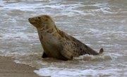 What Animals Eat Seals?